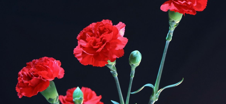 cravos vermelhos, 25 de abril, feriados nacionais
